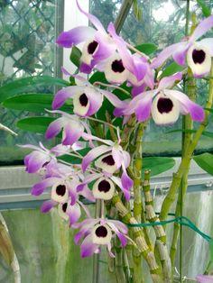 gr ner daumen orchideen so pflegen sie die k nigin der. Black Bedroom Furniture Sets. Home Design Ideas