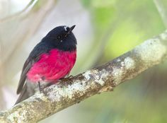 Pink Robin    (photo by callocephalon photography)  | Tumblr