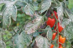 Plísní napadené listy rajčat ihned odstraňujeme Stuffed Peppers, Vegetables, Garden, Compost, Garten, Stuffed Pepper, Lawn And Garden, Vegetable Recipes, Gardens