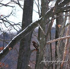 Broad Winged Hawk    we have a new website that you may purchase our photos please check it out. www.rick-buzalewski.artistwebsites.com