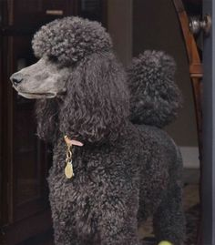 Standard poodle Lola