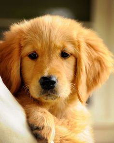 7 Of The Most Adorable Golden Retrievers ❤