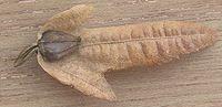 Carpino bianco - Carpinus betulus - Betulaceae - 15/20 m