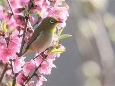 [456] 野鳥>メジロ(横須賀市) - 【蝶にあいたい/野鳥にあいたい】暖蝶寒鳥