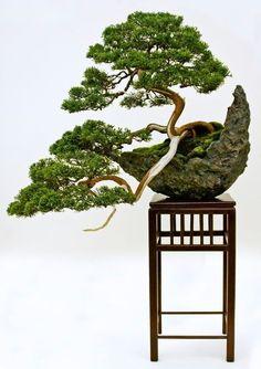 bonsai a cascata