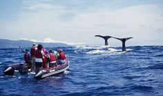 Whale watching in the Azores, Portugal