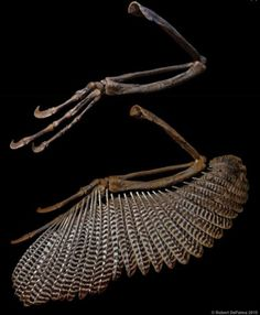 """The """"wings"""" of Dakotaraptor.  New giant """"raptor"""" named."""