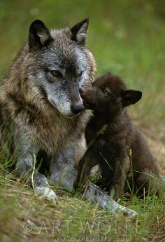 Gray wolf and pup, Montana ~ Art Wolfe, famous American photographer and conservationist; best known for color images of wildlife, landscapes and native cultures.
