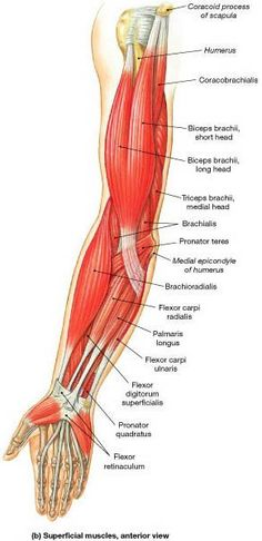 These are muscles that move the forearm. These muscles are involved in flexion and extension of the forearm at the elbow joint.