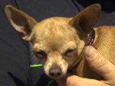 Tiny Chihuahua Saves Family from House Fire http://www.peoplepets.com/people/pets/article/0,,20829696,00.html