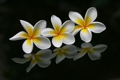 """photo by Leanne Alessi. """"Thrice"""" - White Plumeria (commonly known as Frangipani) is a tropical native deciduous shrub which produces flowers ranging from yellow to pink depending on form or cultivar. Taken on black perspex to provide reflection. 3 January 2010 at Ingleburn."""