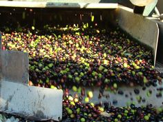 The different stages in the preparation of the olive oil are: The olive harvest, transport, reception of the olives, cleaning and washing the olives, grinding, mixing, separation of phases, storage and packaging.