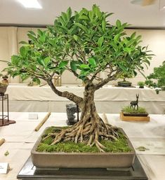 Ficus microcarpa - on of the trees of the Bonsai Society of Southwest Florida's annual show Plants, Ficus Microcarpa, Zen Garden, Fairy Garden, Ficus, Small Trees, Houseplants, Growing Tree, Bonsai Ficus