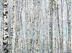 size: Stretched Canvas Print: Winter Trunks of Birch Trees : Entertainment Using advanced technology, we print the image directly onto canvas, stretch it onto support bars, and finish it with hand-painted edges and a protective coating. Birch Tree Art, Free Art Prints, Painting Edges, Abstract Canvas, Canvas Art, Stretched Canvas Prints, Art Images, Find Art, Framed Artwork