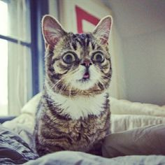 "Lil Bub, a ""perma kitten"" dwarf with no teeth. Adorable and hilarious all at the same time."