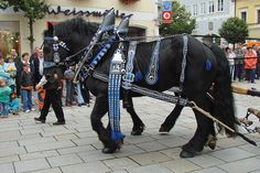 bavarian draft horses in dress harness