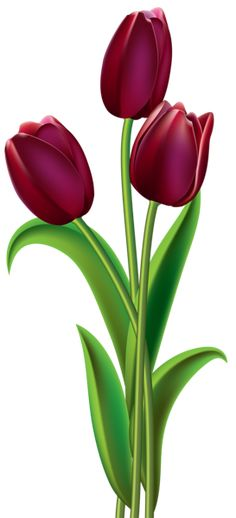 Red Dark Tulips PNG Clipart Image