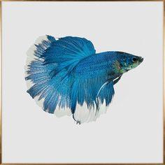 斗鱼,动物,现代艺术,彩色,蓝色,装饰,挂画, Betta  Fish,Animal,Mordern,Crystal,Porcelain,Colorful,Blue,Decorate,Painting