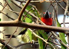 1-#950 - Black-collared Barbet, Victoria Falls Victoria Falls Safari Lodge. oct 10, 2016.IP, Zimbabwe, oct 10, 2016.IIMG_35152