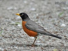 American Robin - of course we have lots of robins, from May-October. They seem common enough to me, but I met a man up in Yellowstone that had never seen one before! Johnny Jump Up, American Robin, Robin Bird, Man Up, Bird Cages, Backyard Birds, Pretty Birds, Robins, Bird Feathers