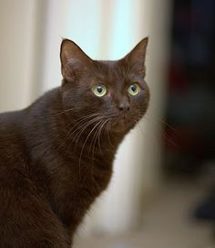 22 Ideas cats breeds burmese havana brown for 2019 Laperm, Burmilla, Ocicat, Selkirk Rex, American Curl, Devon Rex, Havana Brown, Scottish Fold, Bobtail Japonais