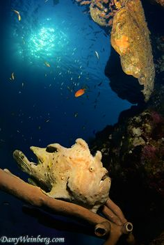 Frogfish by Dany Weinberg