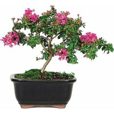 "Crepe Myrtle ""Chickasaw"" Bonsai Tree"