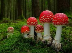 Magical Mushrooms (Amanita muscaria) ...I've always wanted to see these elf stools in the wild