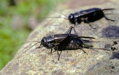 Feeding crickets naturally, by species