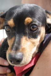 Min Pin and Daschund Mix is an adoptable Dachshund Dog in Lomita, CA. This little mutt is a heart breaker. She is only 10 weeks old and is ready to be trained and brought home to a loving pack. Please...