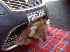Thaipanda:  Fastest koala in the west: Lucky marsupial gets stuck in car grill after being hit at 50mph... and survives
