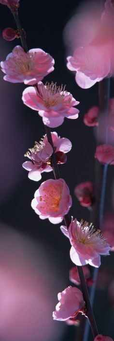 Fleurs de Pêcher ❀❀❀❀
