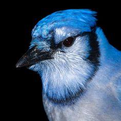 Blue Jay at Stiglmeier Park . #wildlife #nature #spring #wildlifelover #deer #backyard #instalike #featuremeigersbuffalo #gf_wildlife #igersbuffalo #HashtagStepOutBuffalo #veganism #chooselife #animals #animalwelfare #instafollow #wild #respectlife #animalrights #beautiful #life #work #love #birds #beauty #birding #birdphotography #birdsofinstagram #birds_of_instagram #bluejay