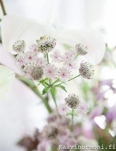 liljakimppu, kasvihormoni, Tähtiputki