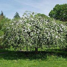 Rautatieomenapuu
