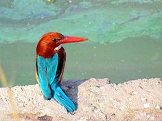 The Beauty ! | White-chested Kingfisher | Flickr - Fotosharing!