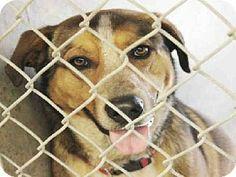 Scottsdale, AZ - German Shepherd Dog/Border Collie Mix. Meet NORMAN a Dog for Adoption.