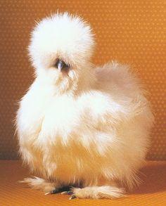Bearded Silkie Chick