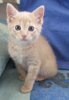 Ruffles (Rumpy) is an adoptable Manx Cat in Chaska, MN