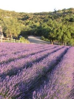 Keys Creek Lavender Farm in Valley Center, CA.  You can buy their lavender online if you can't visit