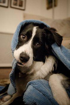 Im a little chilly #rescuedog #dog #itsarescuedoglife