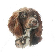 Cocker Spaniel - Pastels on Paper Tiffany Landale - Bespoke Portraiture -  www.foxkay.co.uk Cocker Spaniel, Pastels, Bespoke, Tiffany, Paper, Dogs, Animals, Taylormade, Animales