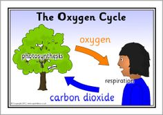 I need an explanation of oxygen cycle with a diagram meritnation the oxygen cycle posters sb8190 sparklebox ccuart Choice Image