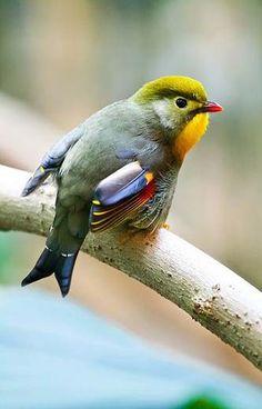 ⭐️Pekin robin - actually a Red-billed leiothrix, laughingthrush family.