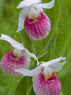 ~~Cypripedium reginae ~ Showy lady's slipper~~  I had these beautiful plants in my garden in Tennessee!  Lovely!