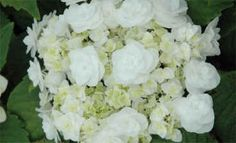 Wedding Gown Hydrangea - I want that!!