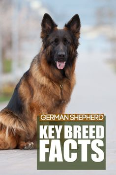 German Shepherd are an amazing breed and learning about them is crucial before bringing one into your home. Today you can learn some amazing facts about this breed. German Dog Breeds, Large Dog Breeds, Best Dog Breeds, Best Dogs, German Shepherd Weight, German Shepherd Dogs, Rottweiler Dog Breed, Massive Dogs, Guard Dog Breeds