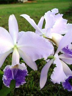 Cattleya labiata coerulea 'laura'
