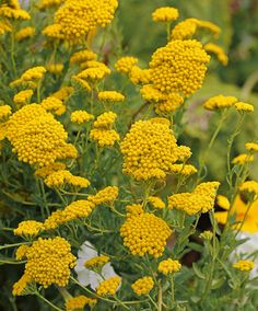 Achillea ageratum 'Moonwalker.' Yarrow is a good plant to include in your butterfly garden. It's flat flowers or umbels are an easy landing spot and many different adult butterflies feed on its nectar. Full sun, low-average water (drought tolerant). And, it apparently makes a good cut flower.