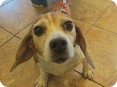 Oak Ridge, NJ - Beagle. Meet Bella, a dog for adoption. http://www.adoptapet.com/pet/11650223-oak-ridge-new-jersey-beagle
